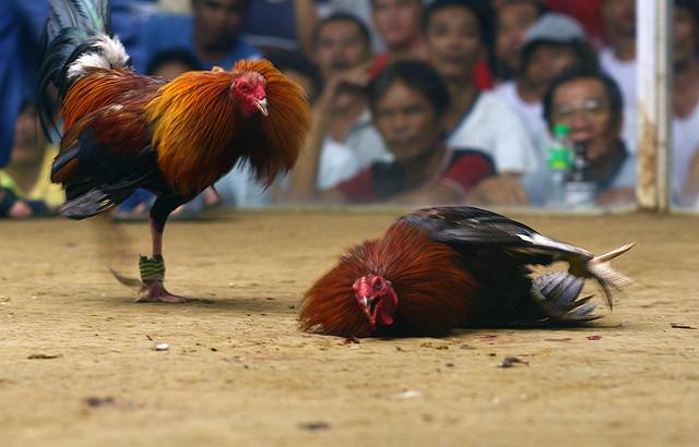 Ciri-Ciri Situs Sabung Ayam Online Terpercaya