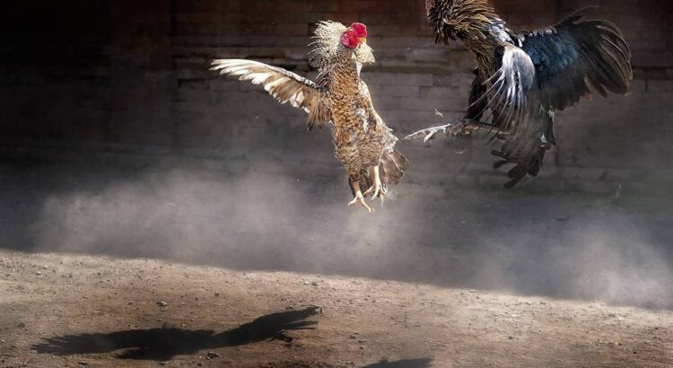 Resiko Jika Main Tanpa Situs Sabung Ayam Online
